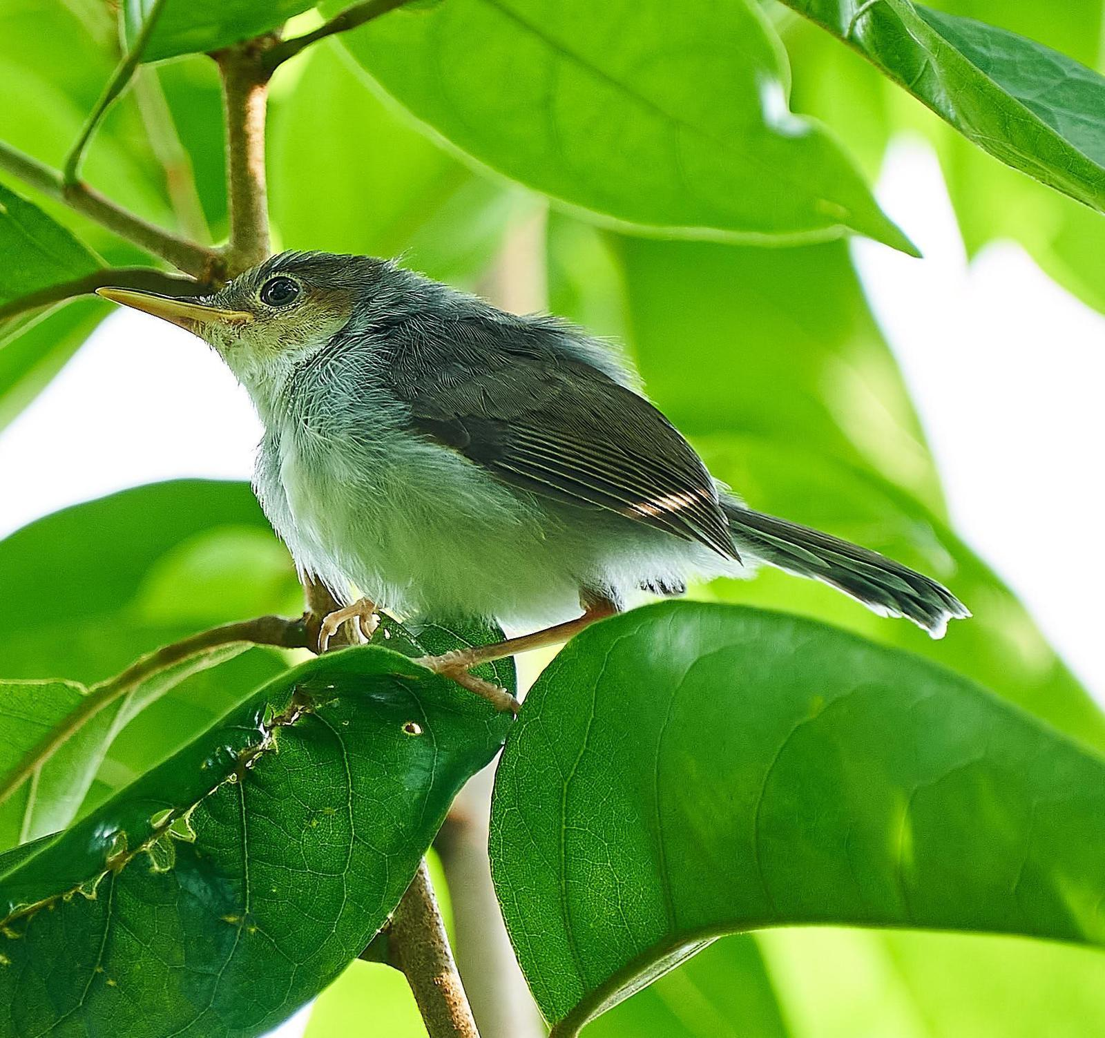 Ashy Tailorbird Photo by Steven Cheong