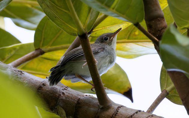 Ashy Tailorbird Photo by Kenneth Cheong