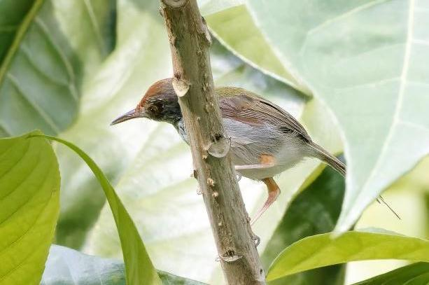 Olive-backed Tailorbird Photo by Kenneth Cheong