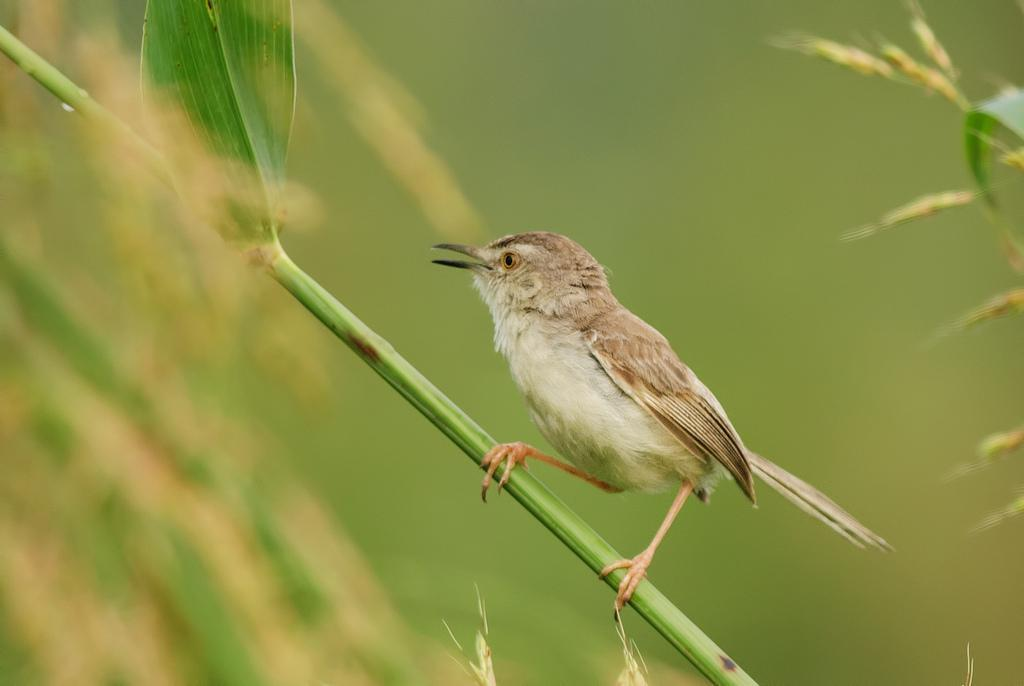 Plain Prinia Photo by Mihir Joshi