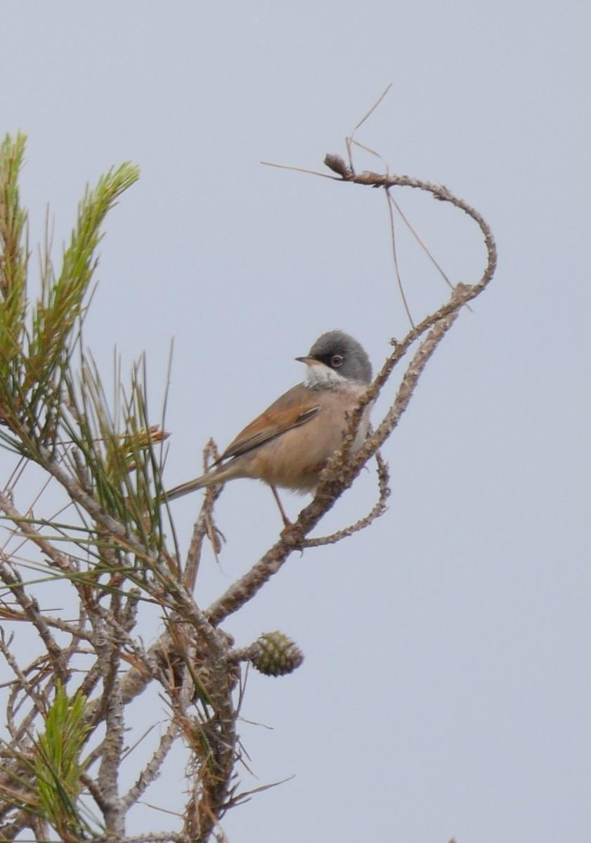 Spectacled Warbler Photo by Roger Horn