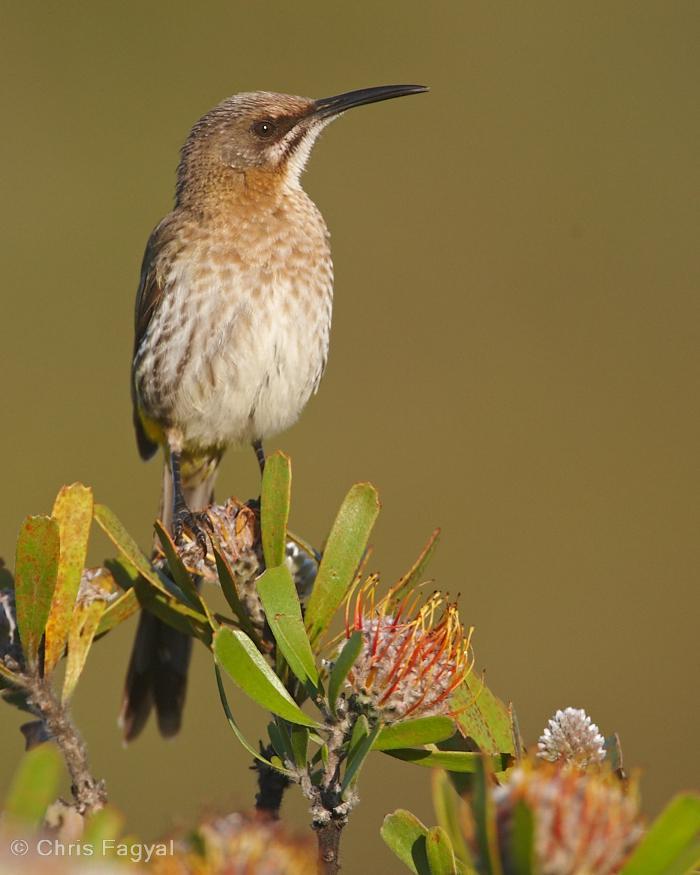 Cape Sugarbird Photo by Chris Fagyal