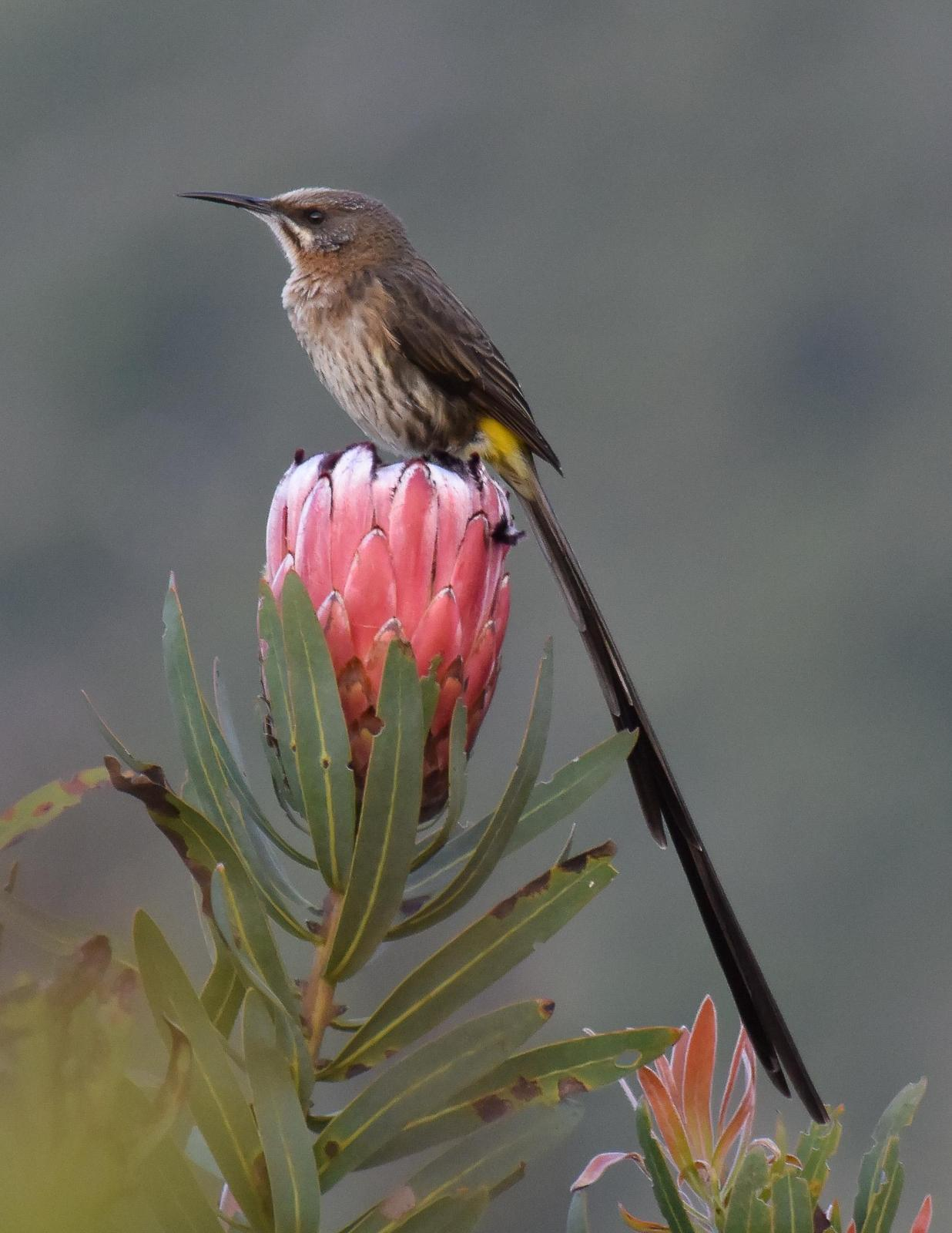 Cape Sugarbird Photo by Steve Percival