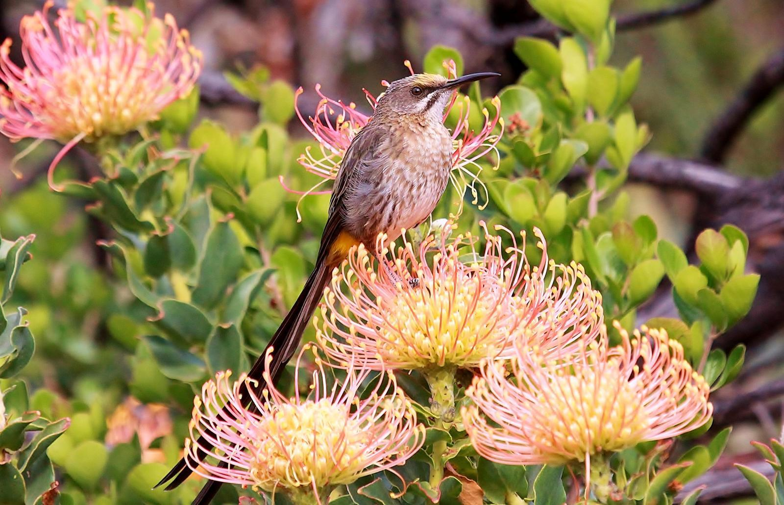 Cape Sugarbird Photo by Matthew McCluskey