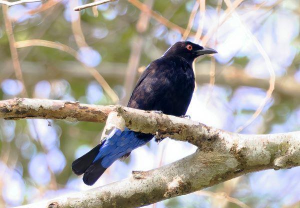 Asian Fairy-bluebird Photo by Kenneth Cheong
