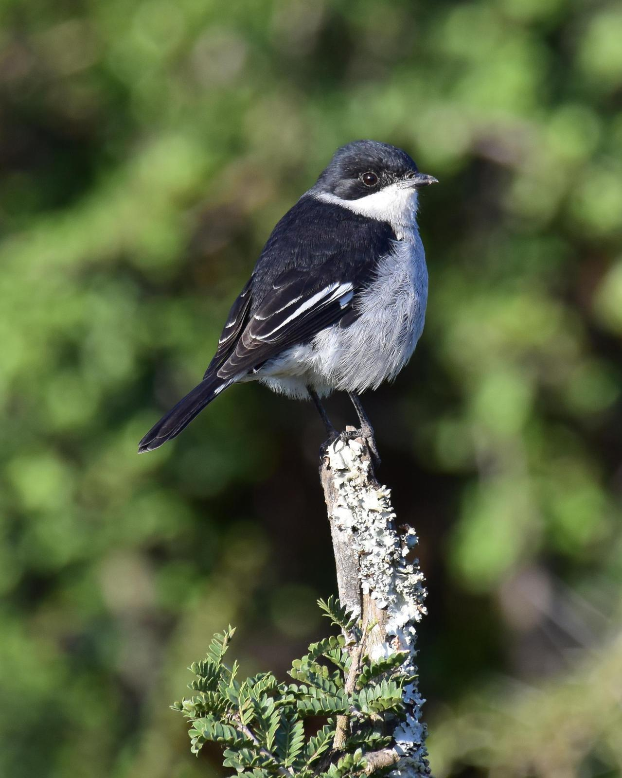 Fiscal Flycatcher Photo by Steve Percival