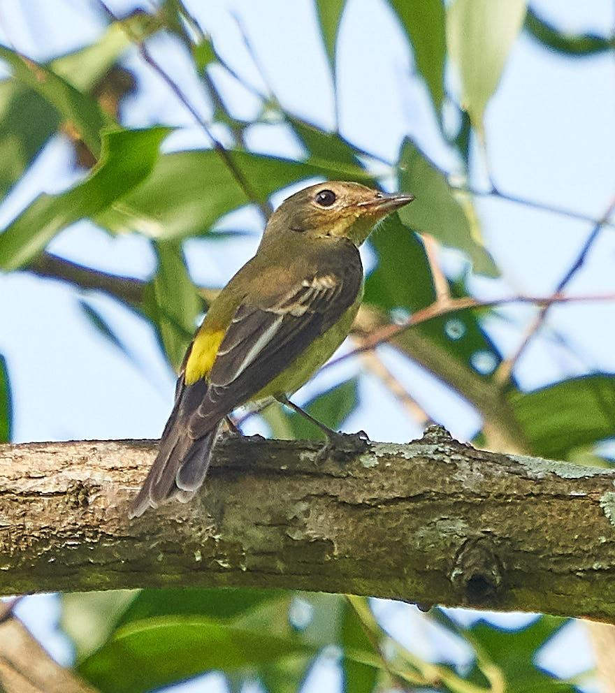 Yellow-rumped Flycatcher Photo by Steven Cheong