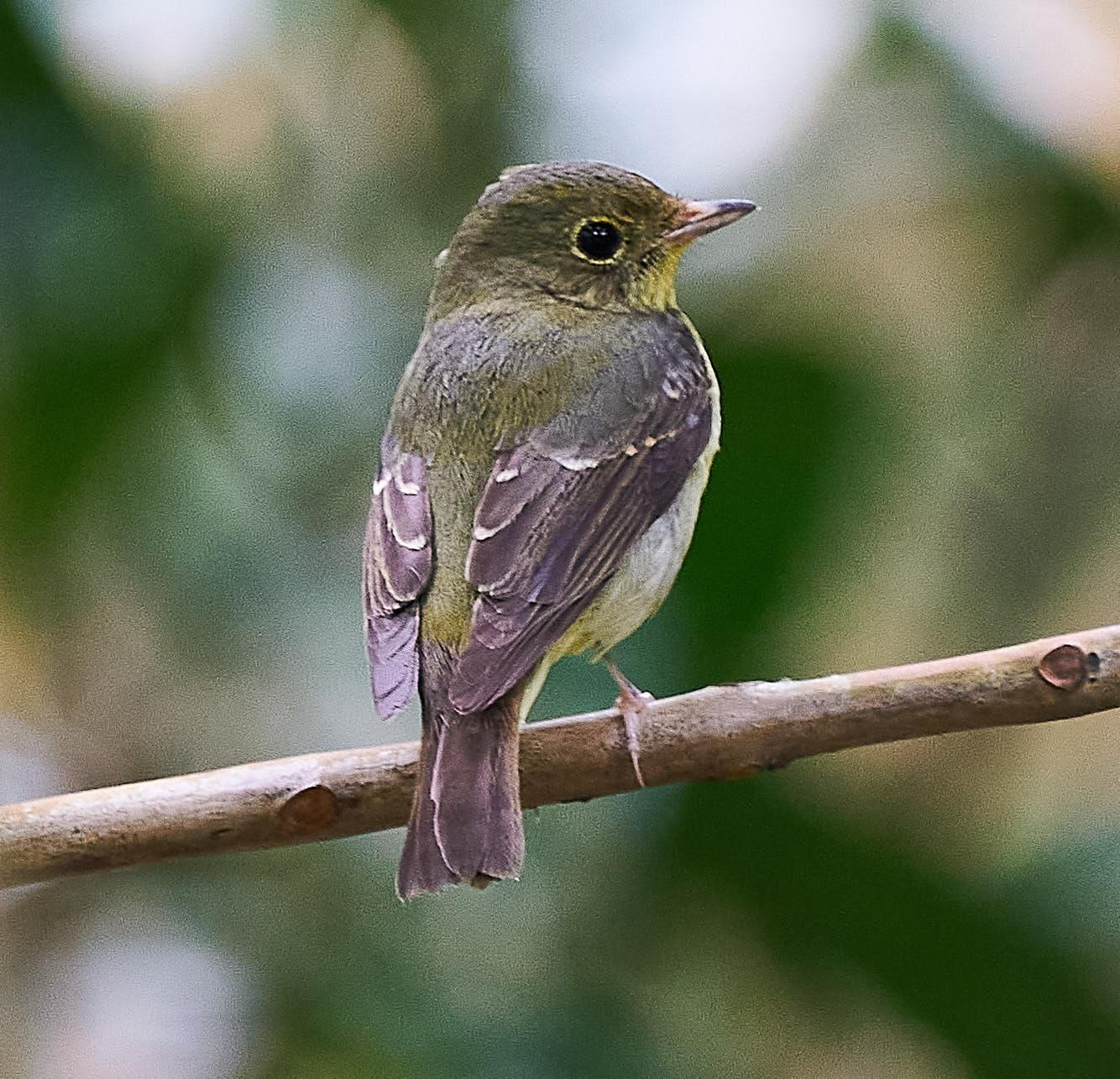 Green-backed Flycatcher Photo by Steven Cheong
