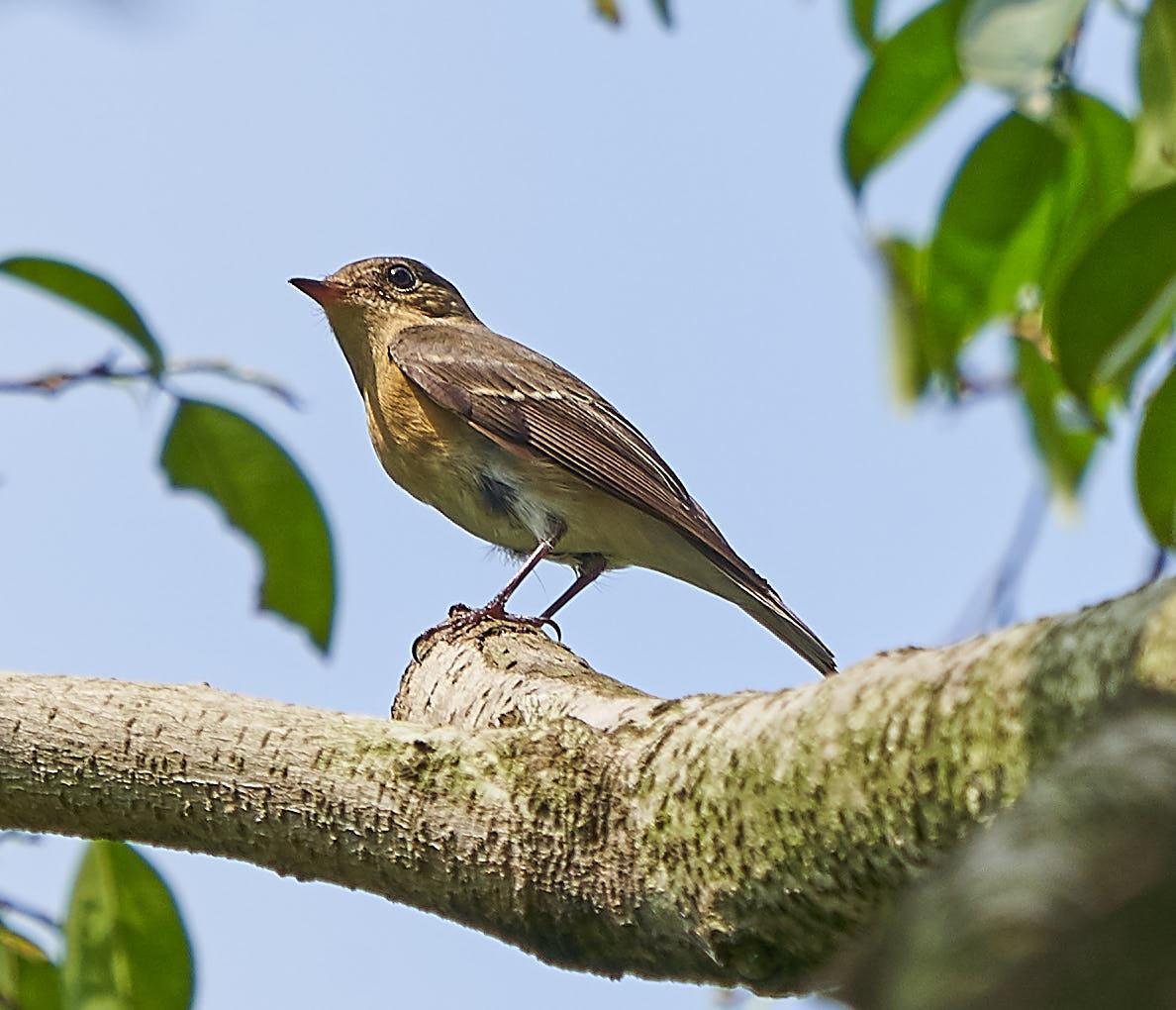 Mugimaki Flycatcher Photo by Steven Cheong