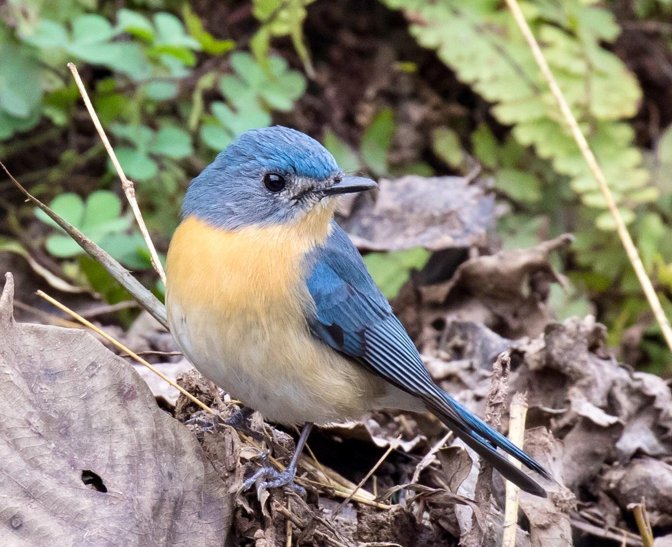 Tickell's Blue Flycatcher Photo by Kate Persons