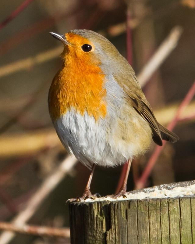 European Robin Photo by Natalie Raeber