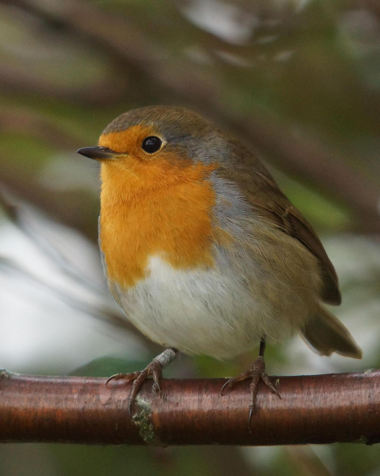 European Robin Photo by Steve Percival