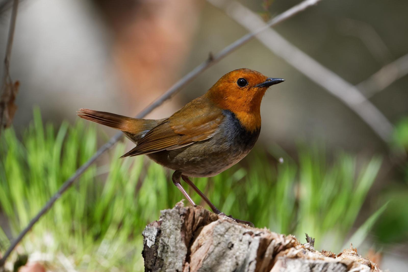 Japanese Robin Photo by Robert Cousins