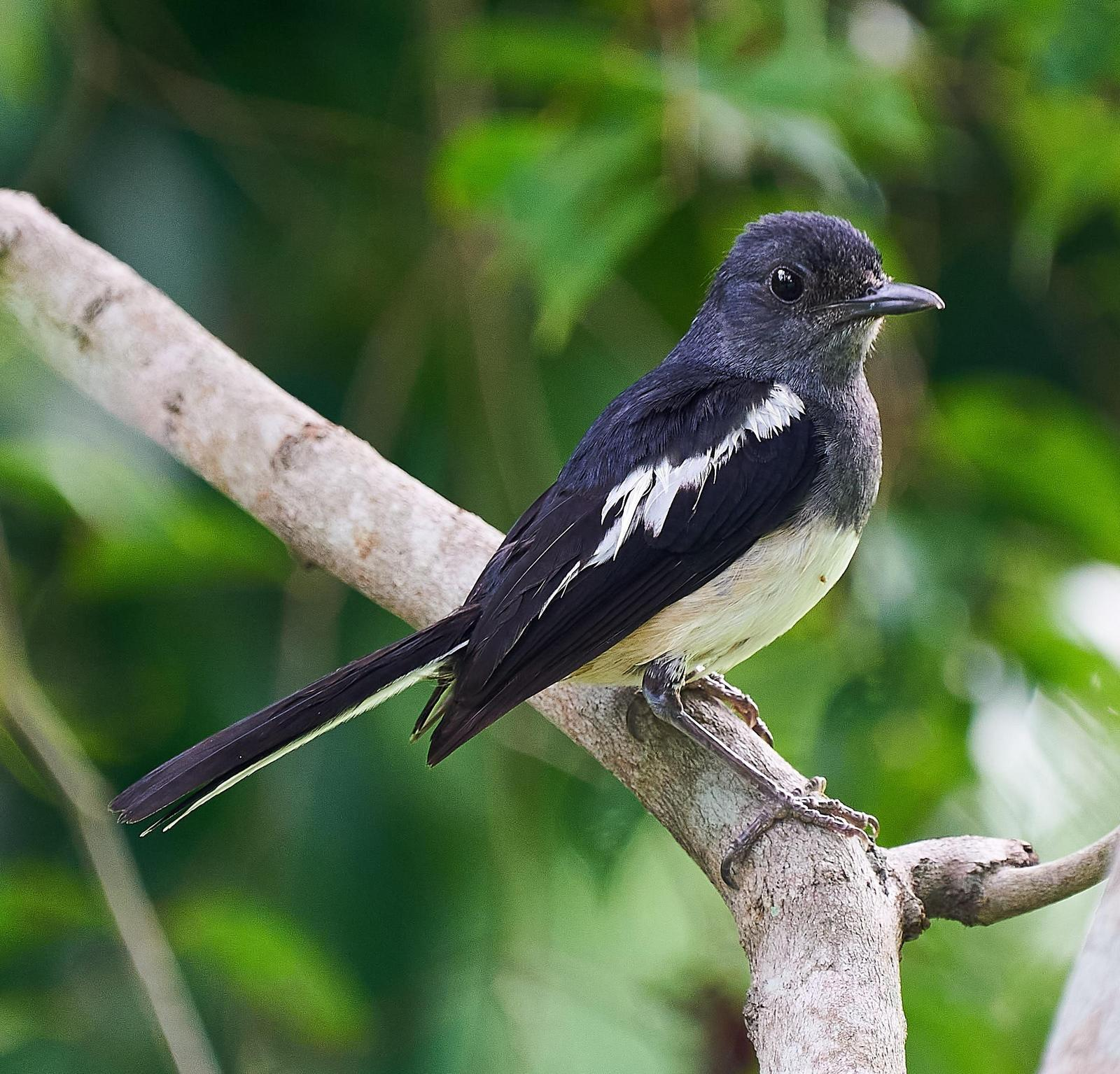 Oriental Magpie-Robin Photo by Steven Cheong
