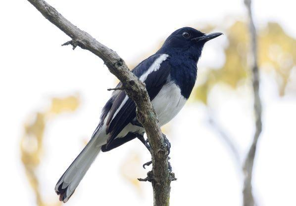 Oriental Magpie-Robin Photo by Kenneth Cheong