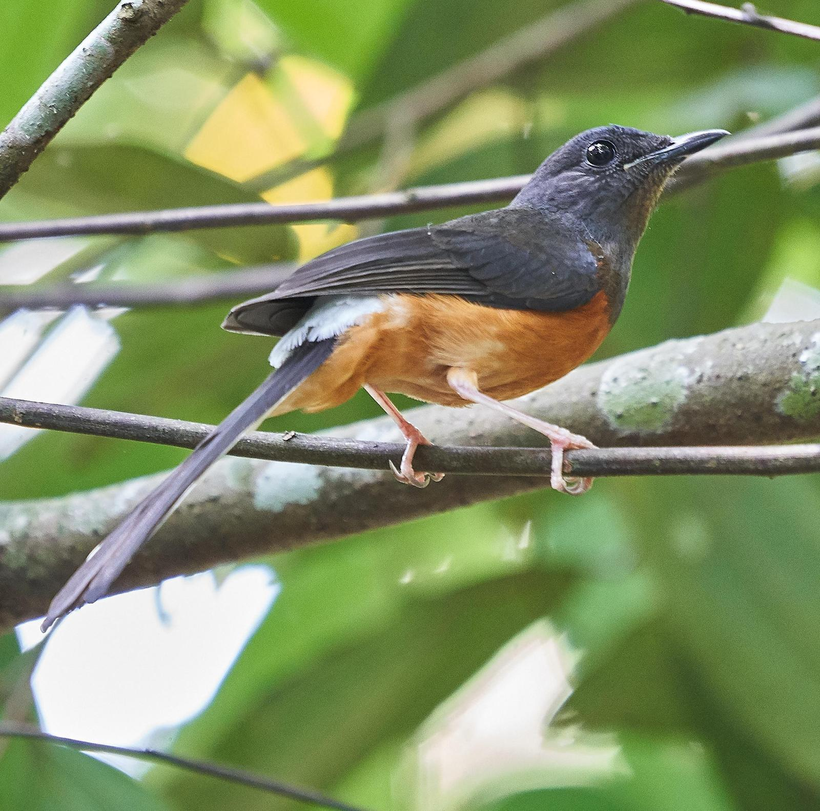 White-rumped Shama Photo by Steven Cheong