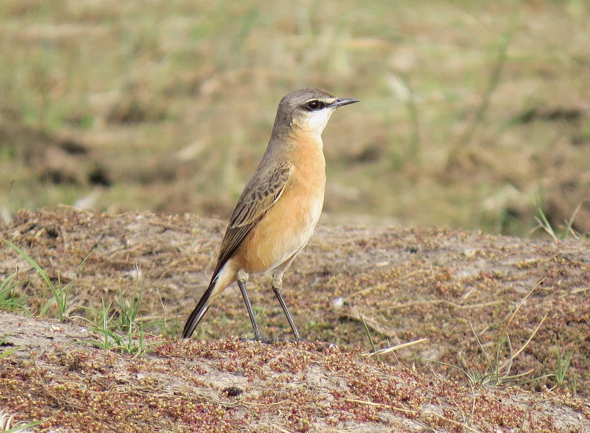 Red-breasted Wheatear Photo by Peter Boesman