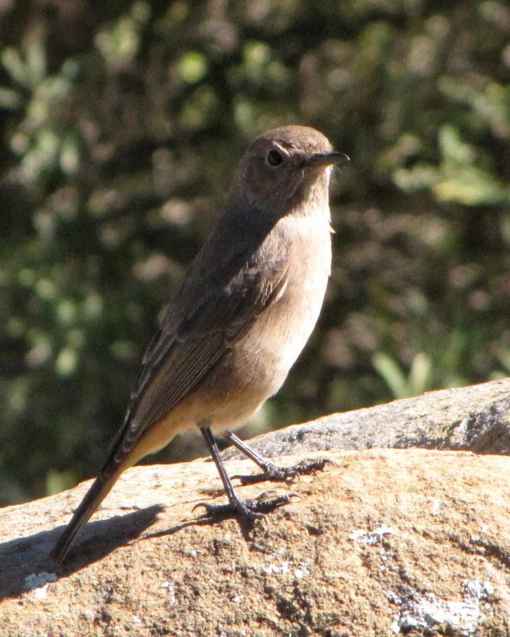 Sickle-winged Chat Photo by Richard  Lowe