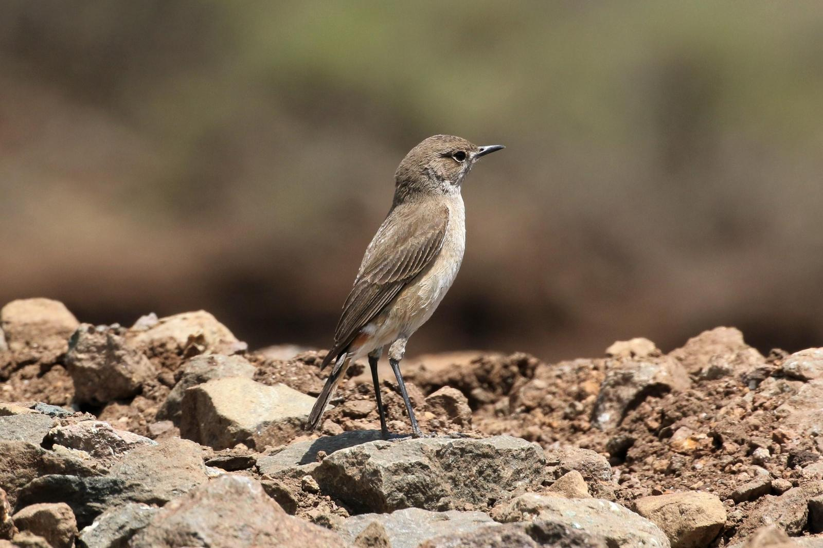 Sickle-winged Chat Photo by Richard Jeffers