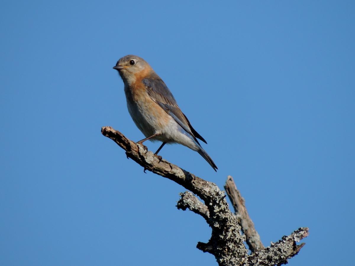 Eastern Bluebird Photo by Tony Heindel