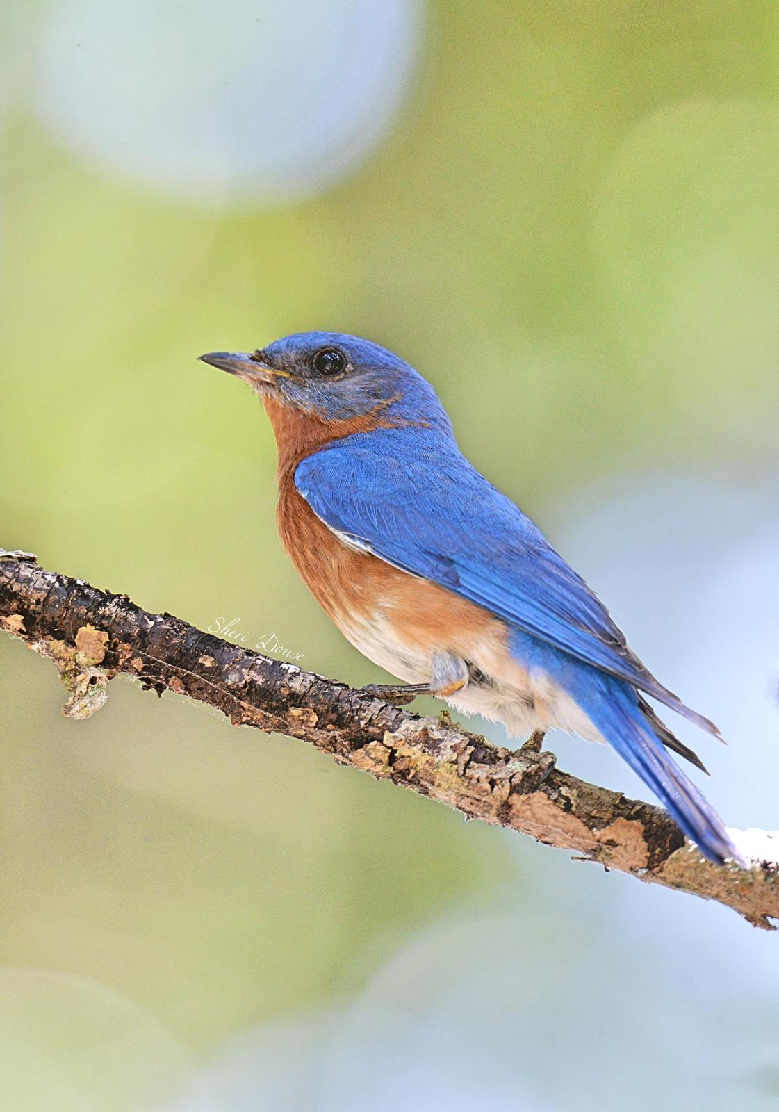 Eastern Bluebird (Eastern) Photo by Sheri  Douse