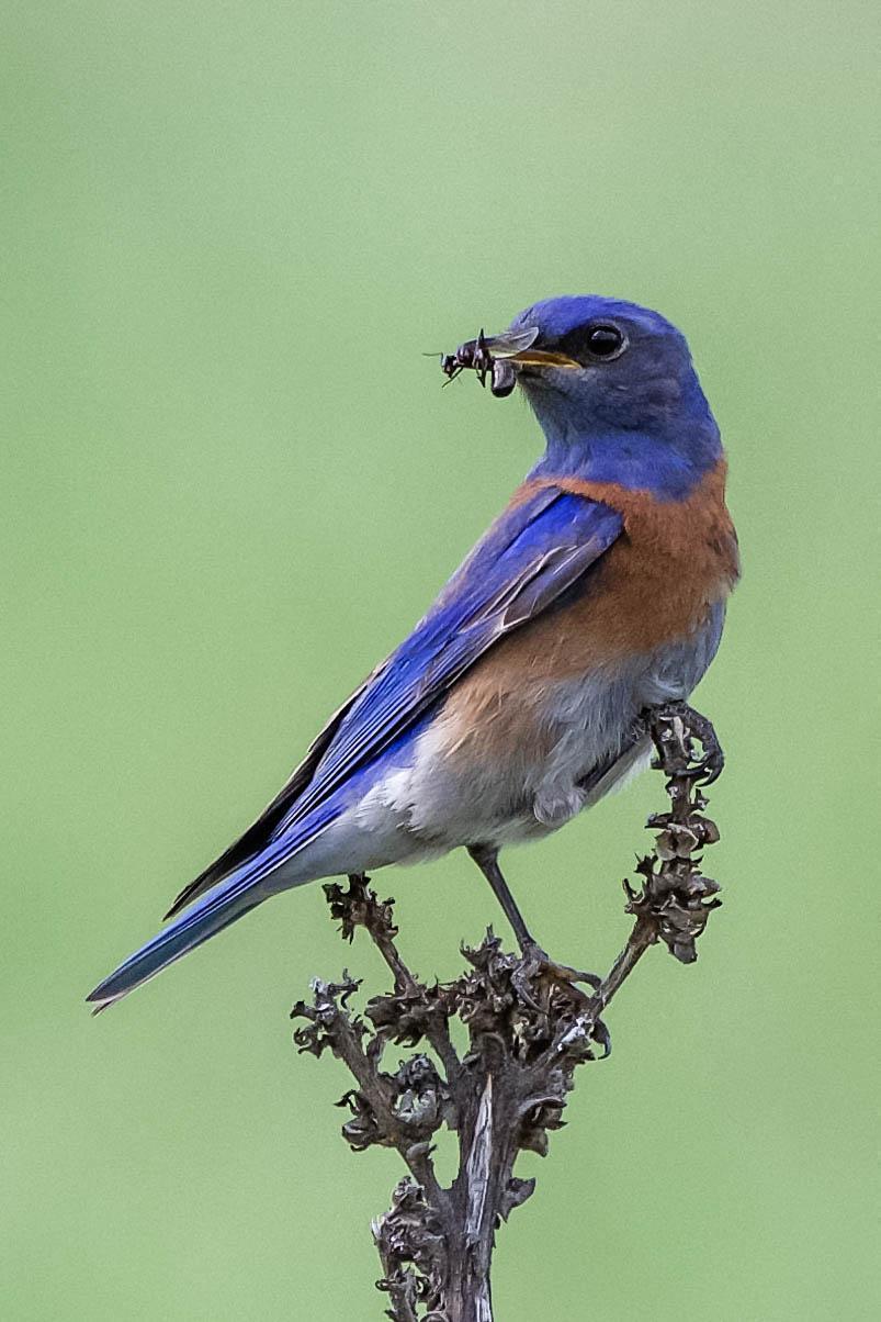 Western Bluebird Photo by Scott Yerges