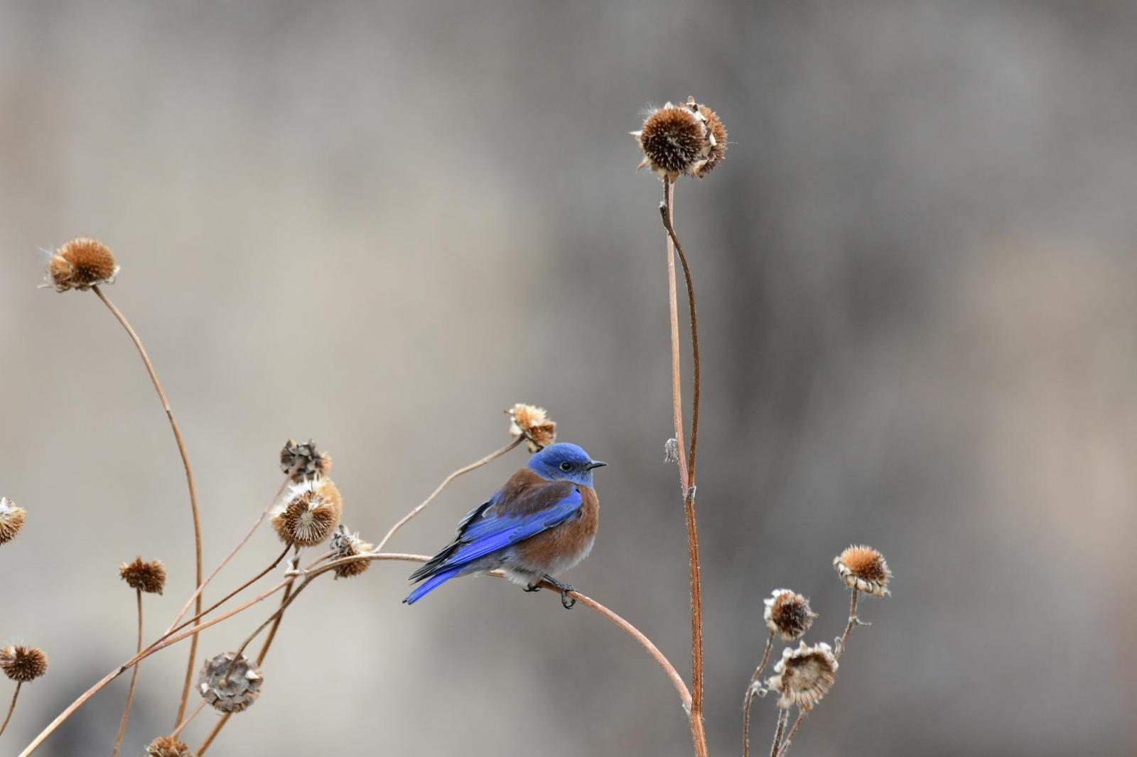 Western Bluebird Photo by Jacob Zadik