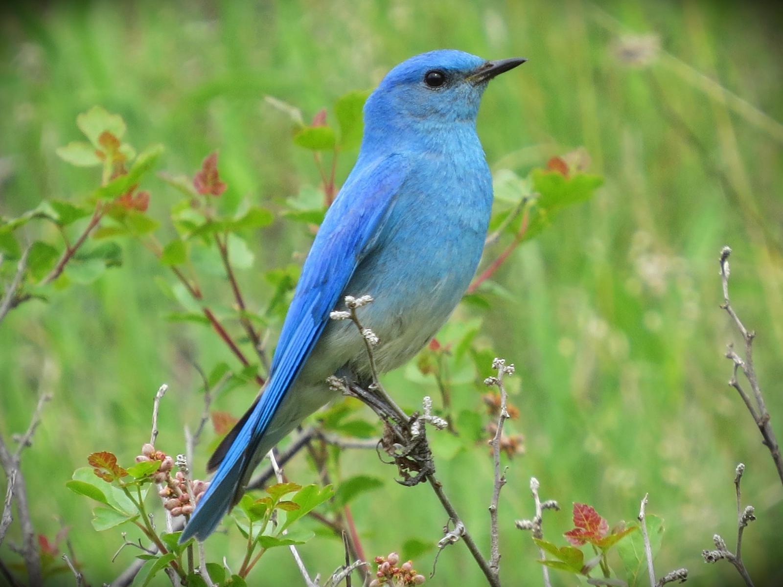 Mountain Bluebird Photo by Bob Neugebauer