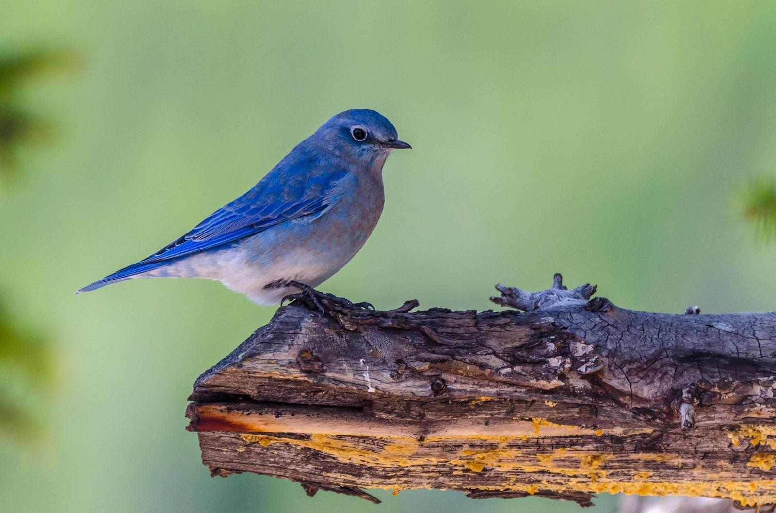 Mountain Bluebird Photo by Scott Yerges