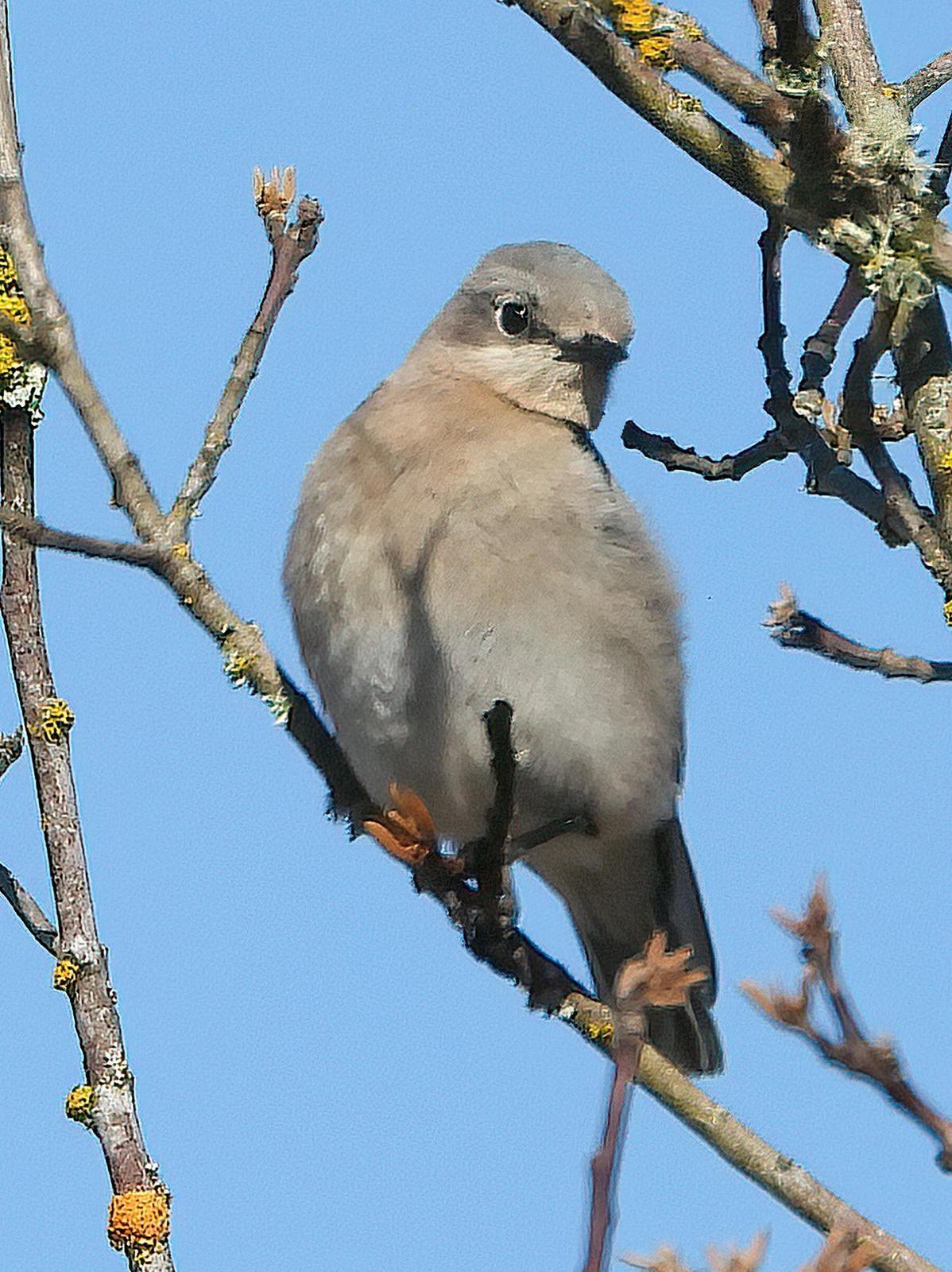 Mountain Bluebird Photo by Dan Tallman
