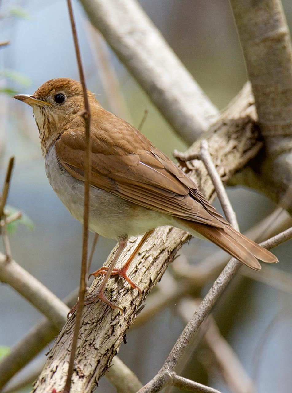 Veery Photo by Brian Avent