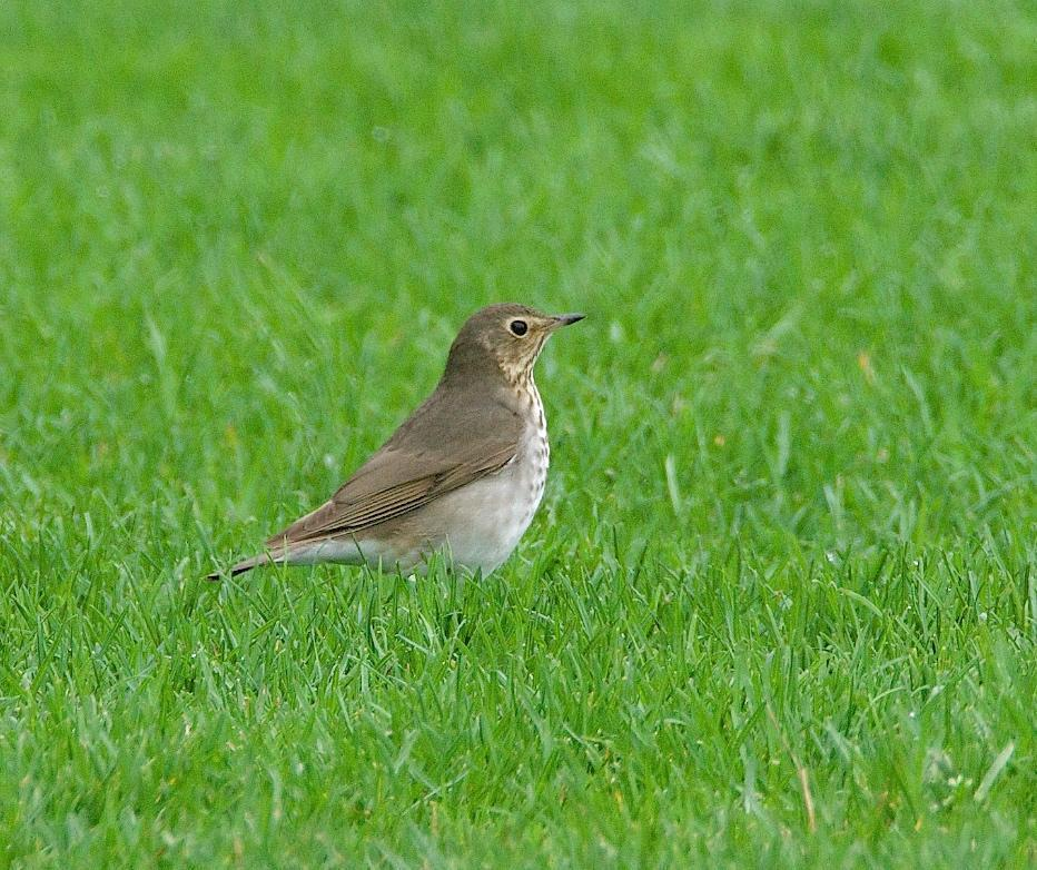 Swainson's Thrush Photo by Gerald Hoekstra