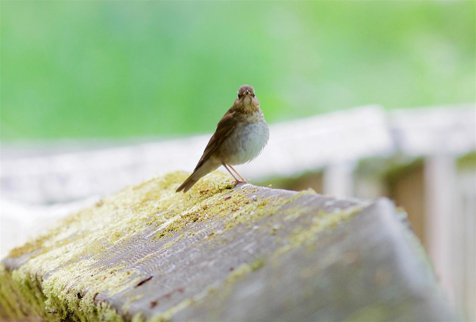 Swainson's Thrush Photo by Kathryn Keith