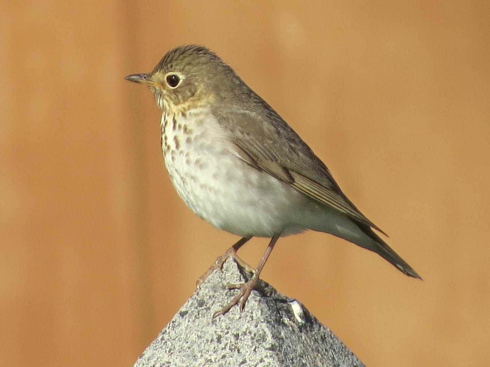 Swainson's Thrush Photo by Bob Neugebauer