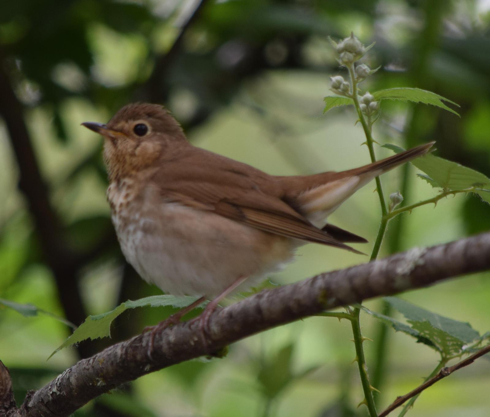 Swainson's Thrush Photo by Ken Shawcroft