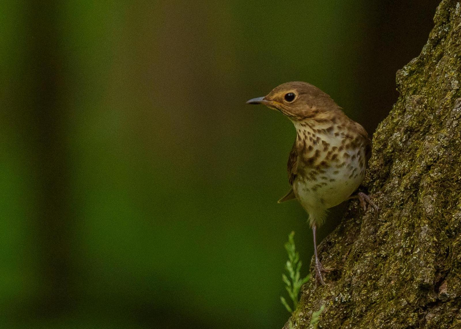 Swainson's Thrush Photo by Keshava Mysore