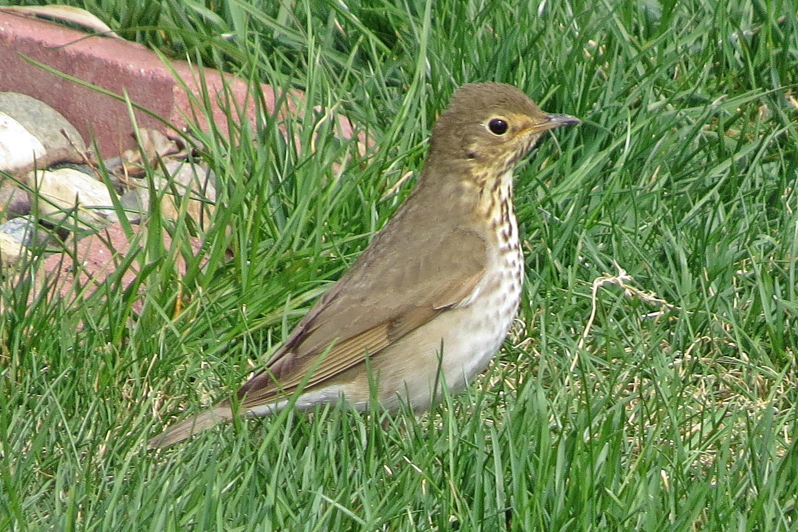 Swainson's Thrush Photo by Enid Bachman