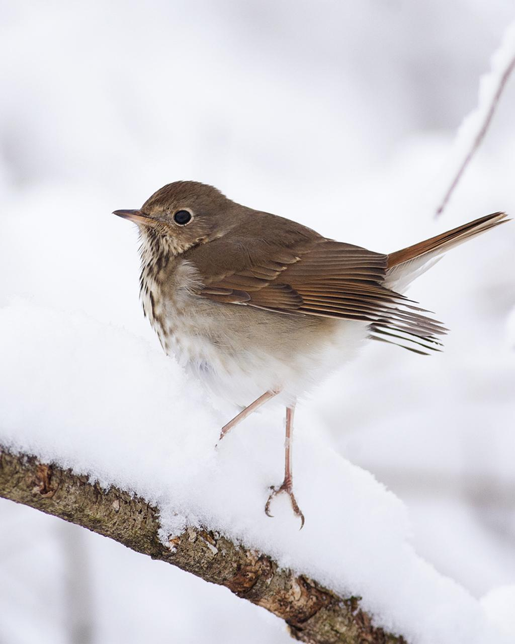 Hermit Thrush Photo by Christopher Collins
