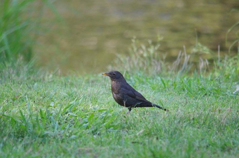 Eurasian Blackbird Photo by Richard Lund