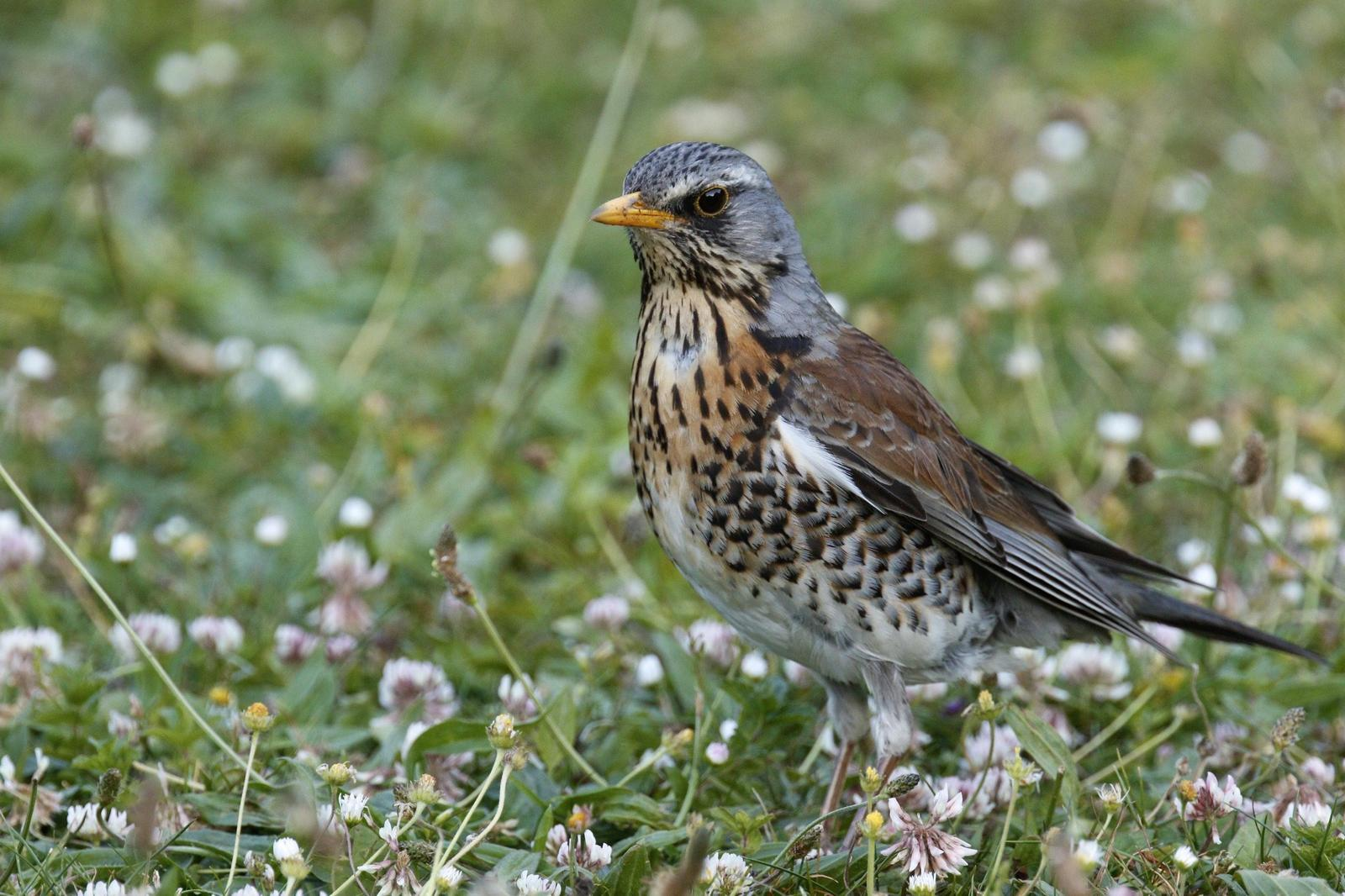 Fieldfare Photo by Emily Willoughby