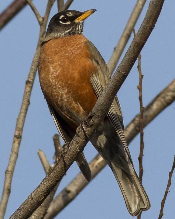 American Robin Photo by Anthony Gliozzo