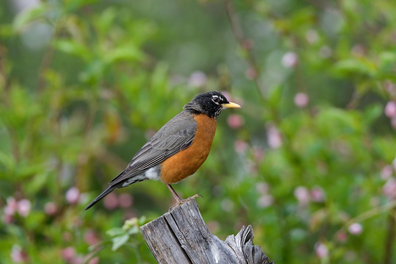 American Robin Photo by Gerald Hoekstra