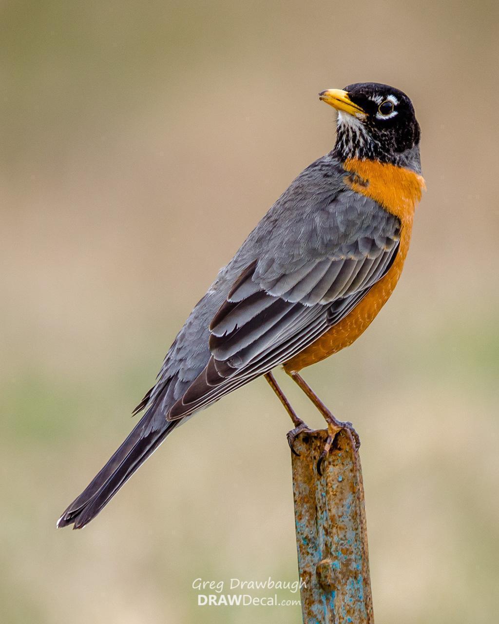 American Robin Photo by Greg Drawbaugh