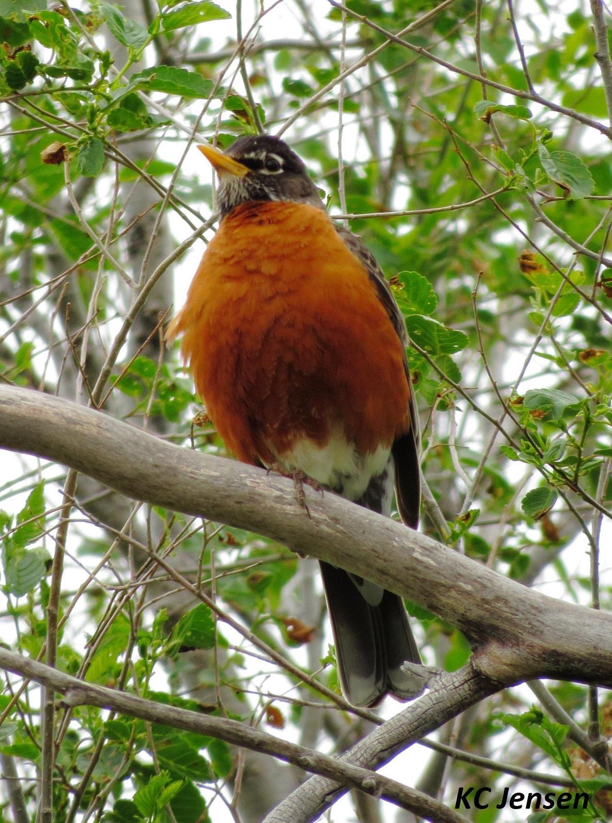 American Robin Photo by Kent Jensen