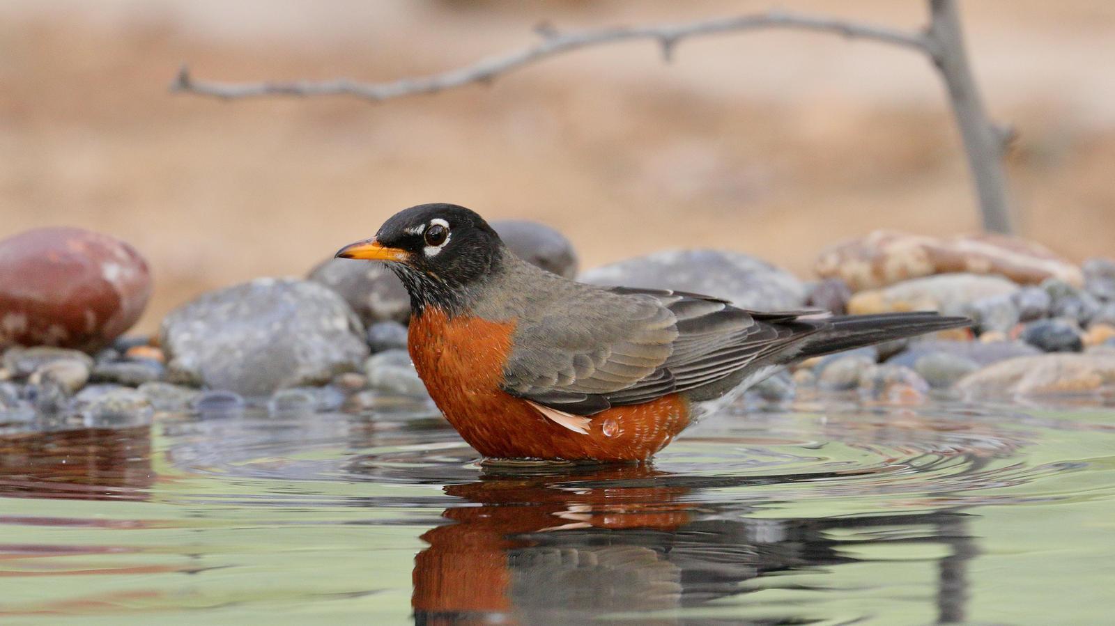 American Robin Photo by Bob Walker