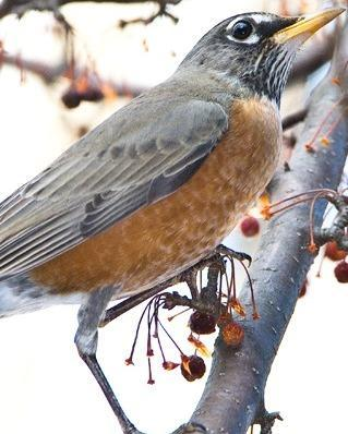American Robin Photo by Pete Myers