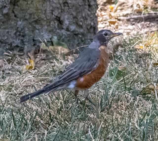 American Robin Photo by Wally Wenzel