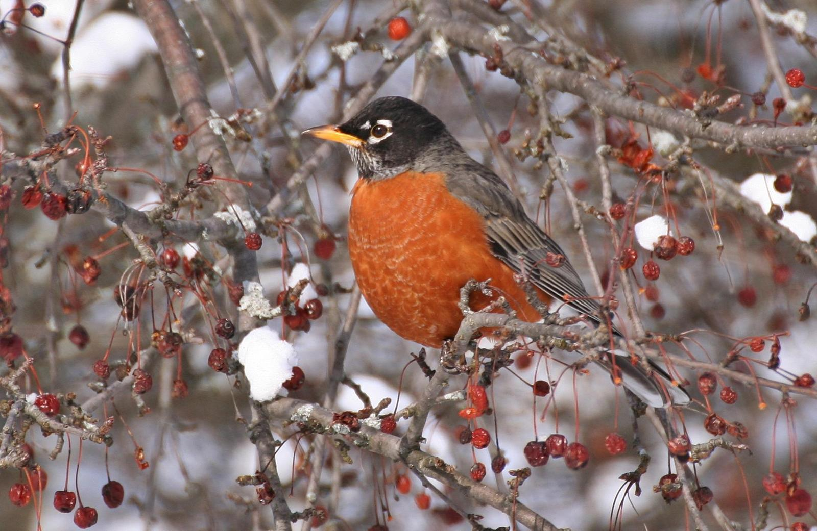 American Robin Photo by Andrew Theus