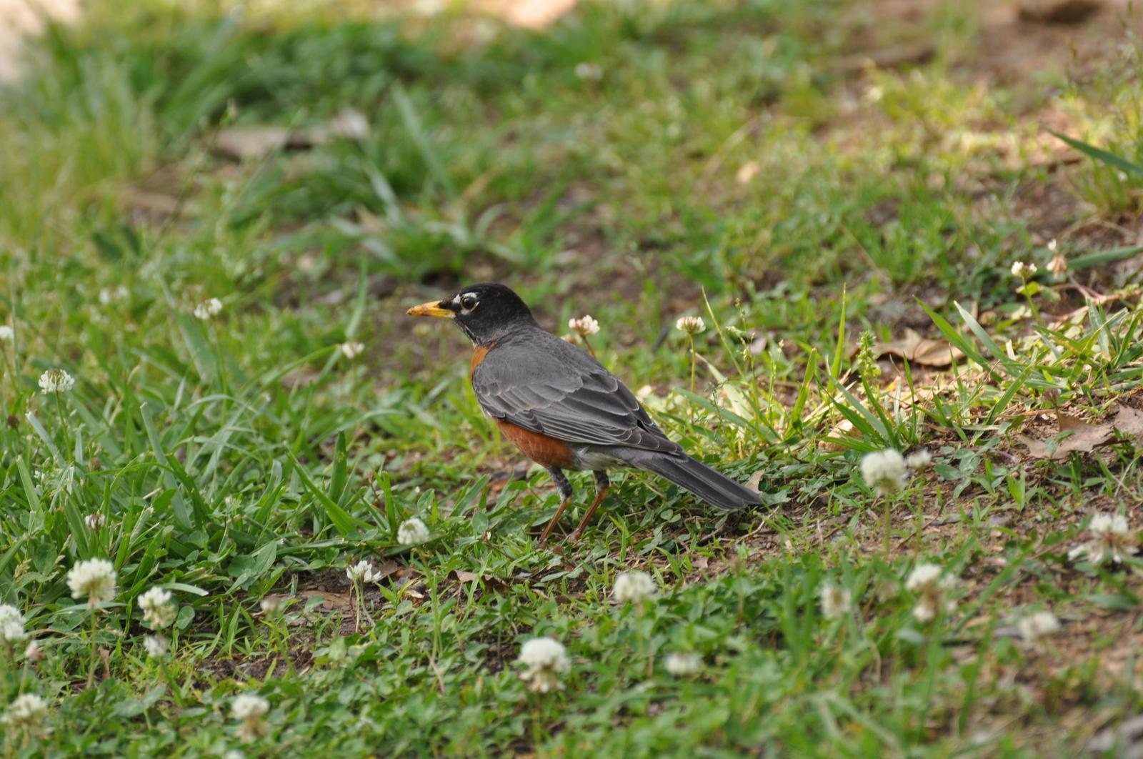 American Robin Photo by Ashley Grubstein