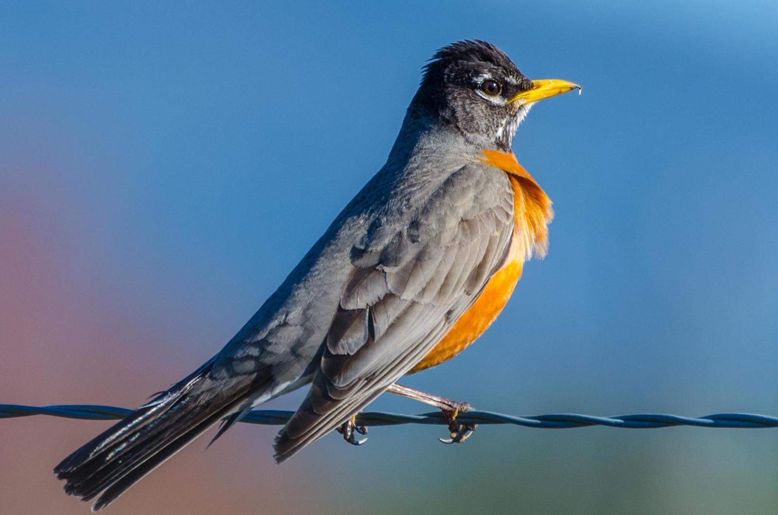 American Robin Photo by Scott Yerges